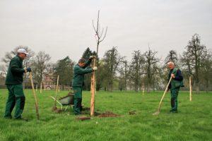 Aanplant hoogstamboom